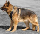 German Shepherd dog Harness
