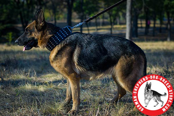 Wide Leather German Shepherd Collar of Best Quality