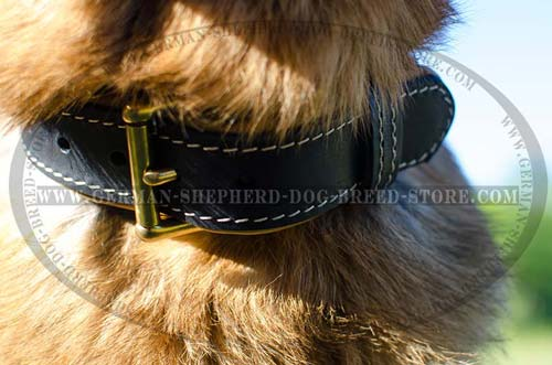 Buckled Leather German Shepherd Collar Stitched with White Thread