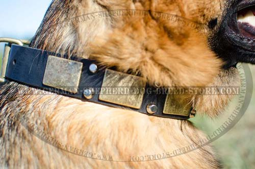 Decorated Leather German Shepherd Collar with Massive Brass Plates and Nickel Pyramids