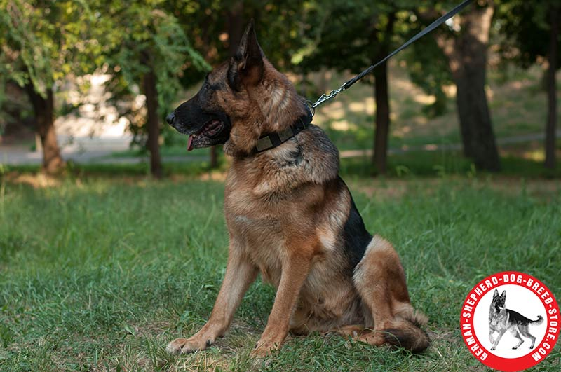 German Shepherd Leather Dog Collar Massive Plates with Nickel ...