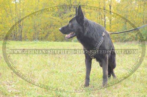 Royal Padded Leather German Shepherd Harness with Studded Chest Plate