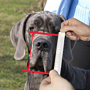 Measure him for muzzle height